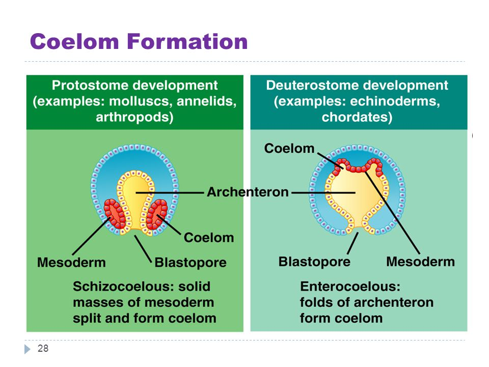 Coelom Formation 28