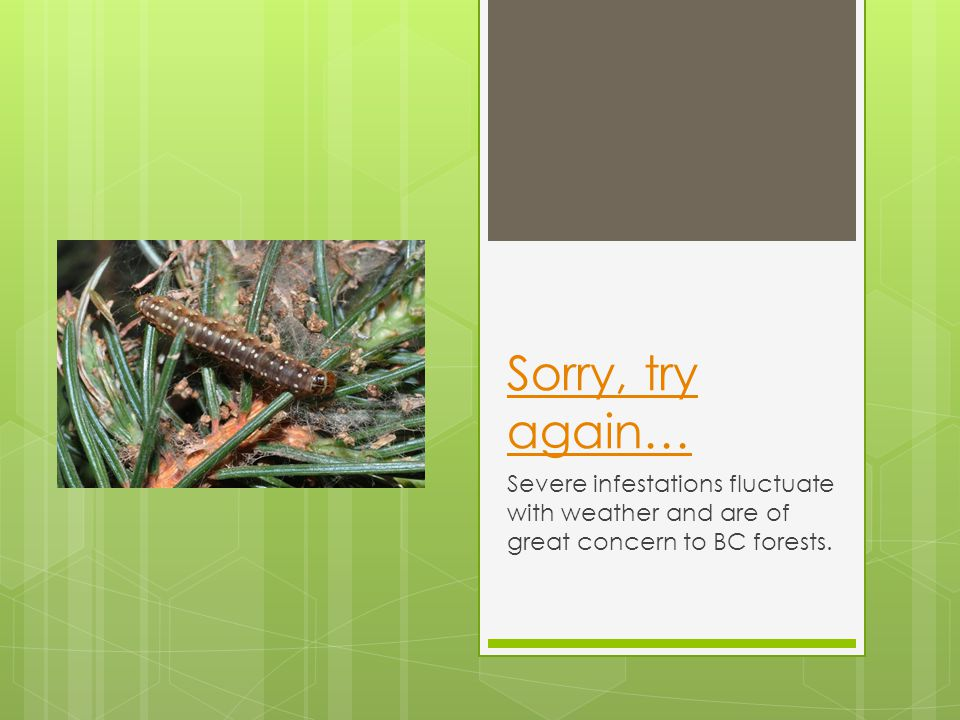 Sorry, try again… Severe infestations fluctuate with weather and are of great concern to BC forests.