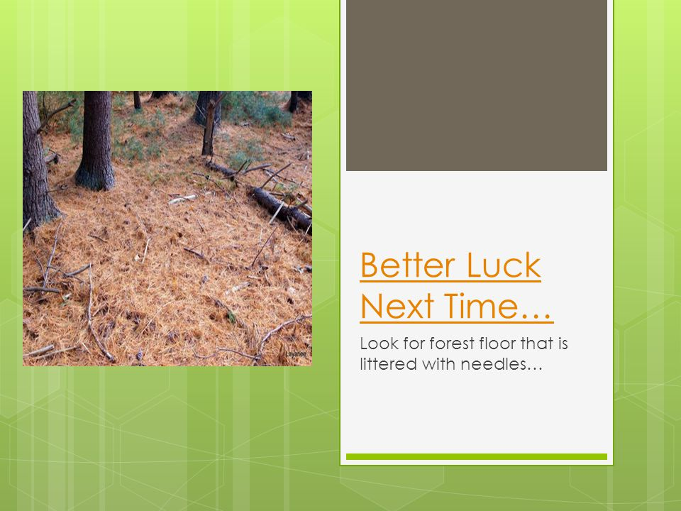 Better Luck Next Time… Look for forest floor that is littered with needles…