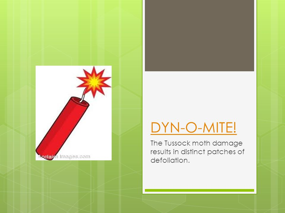 DYN-O-MITE! The Tussock moth damage results in distinct patches of defoliation.
