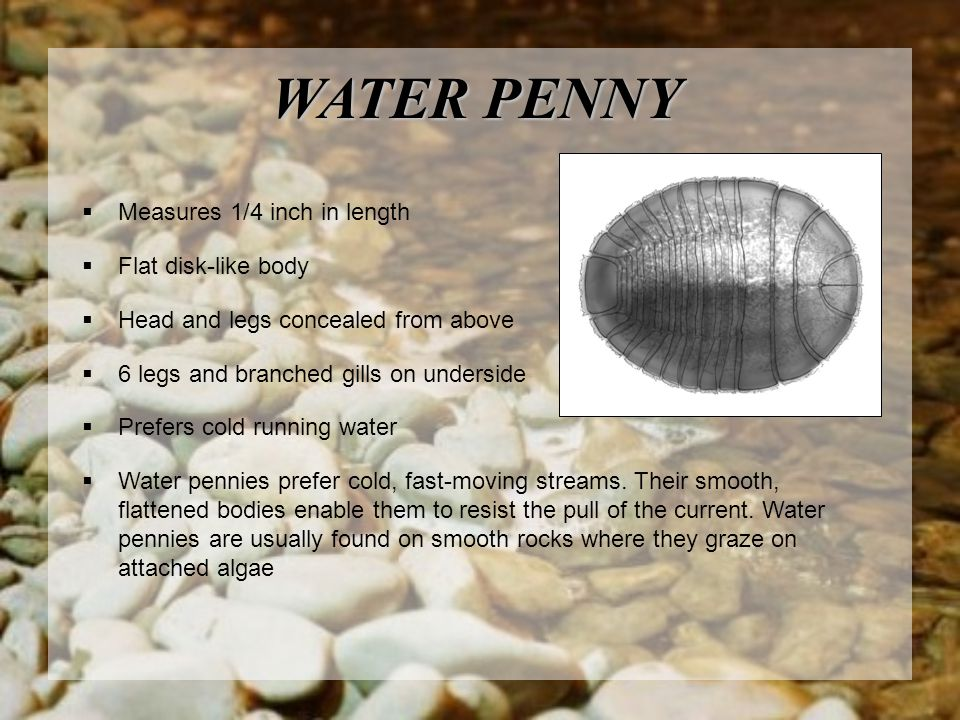 WATER PENNY  Measures 1/4 inch in length  Flat disk-like body  Head and legs concealed from above  6 legs and branched gills on underside  Prefer