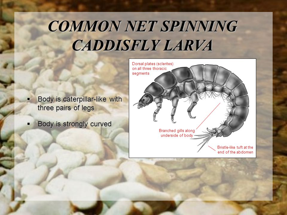 COMMON NET SPINNING CADDISFLY LARVA Branched gills along underside of body Dorsal plates (sclerites) on all three thoracic segments Bristle-like tuft at the end of the abdomen  Body is caterpillar-like with three pairs of legs  Body is strongly curved
