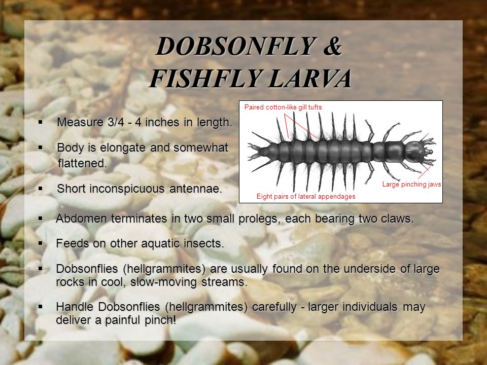 DOBSONFLY & FISHFLY LARVA  Abdomen terminates in two small prolegs, each bearing two claws.  Feeds on other aquatic insects.  Dobsonflies (hellgram