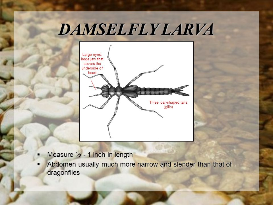  Measure ½ - 1 inch in length  Abdomen usually much more narrow and slender than that of dragonflies DAMSELFLY LARVA Large eyes, large jaw that covers the underside of head Three oar-shaped tails (gills)