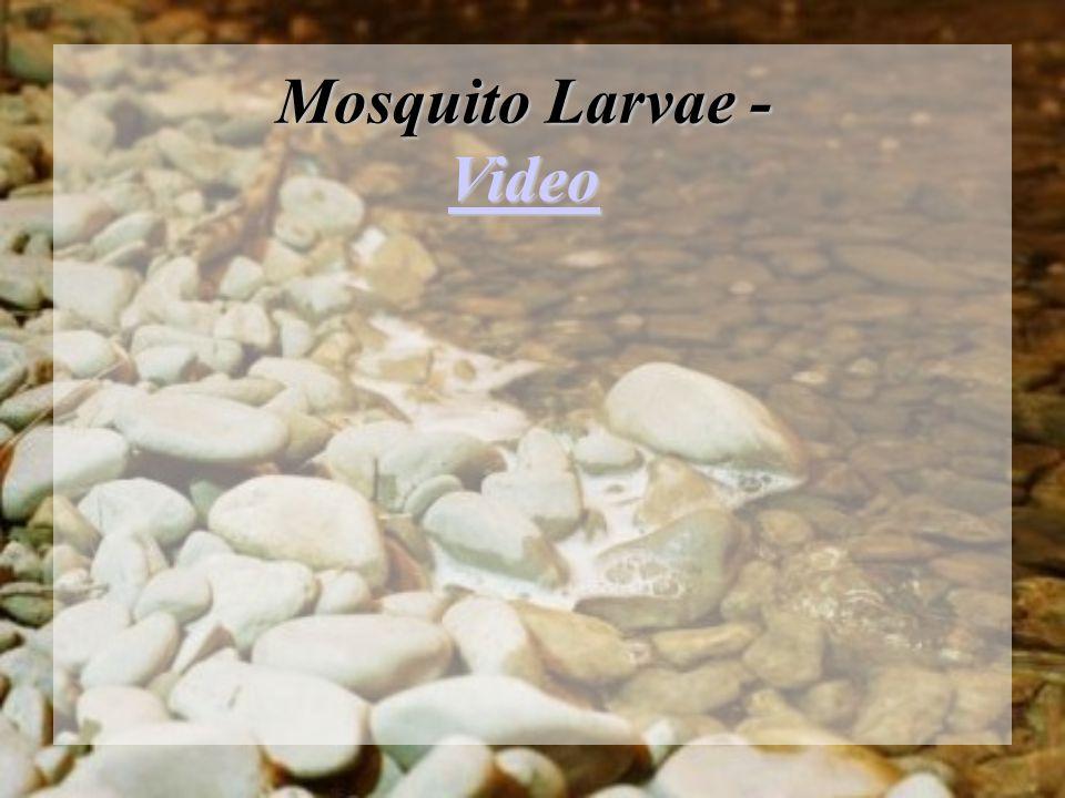 Mosquito Larvae - Video Video
