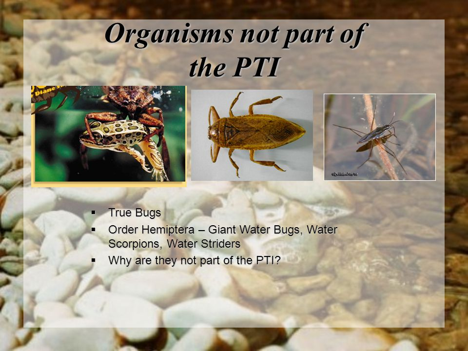 Organisms not part of the PTI  True Bugs  Order Hemiptera – Giant Water Bugs, Water Scorpions, Water Striders  Why are they not part of the PTI?