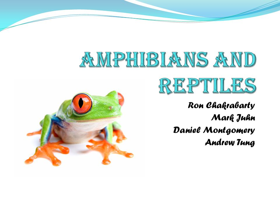 Amphibians - Respiration Cutaneous respiration (breathing through skin) – many amphibians use this type of respiration as their main type of breathing and use their lungs as backup Skin is moist and permeable Allows diffusion of oxygen, water, and carbon dioxide However, this makes amphibians vulnerable to dehydration