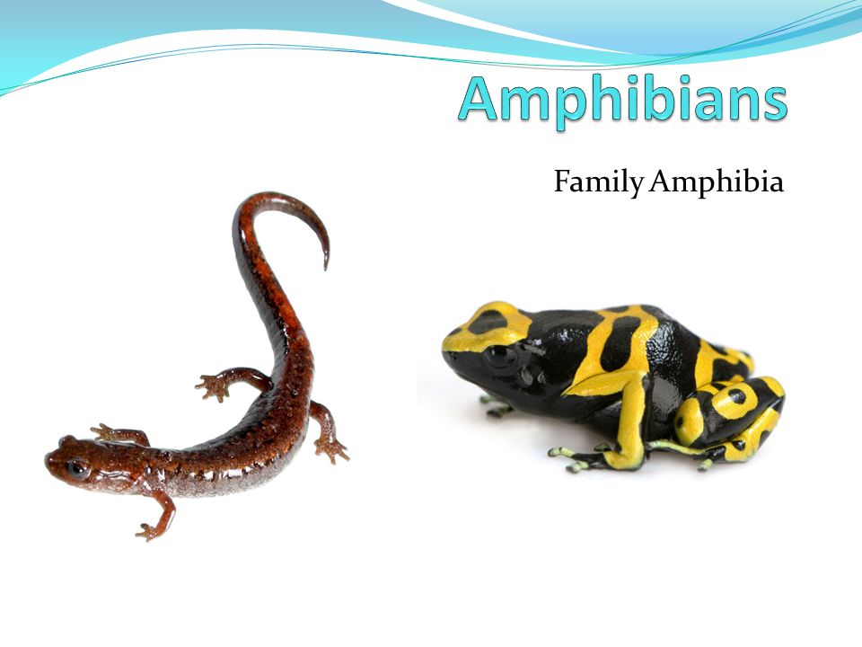 Amphibians - Development Tadpoles hatch within a few days and develop gills Eventually, a mouth opens Goes through metamorphosis – Changes from an aquatic larva to an adult Legs Lungs Teeth Tail disappears Metamorphosis happens because of thyroxine Produced in thyroid, circulates through blood, stimulates metamorphosis