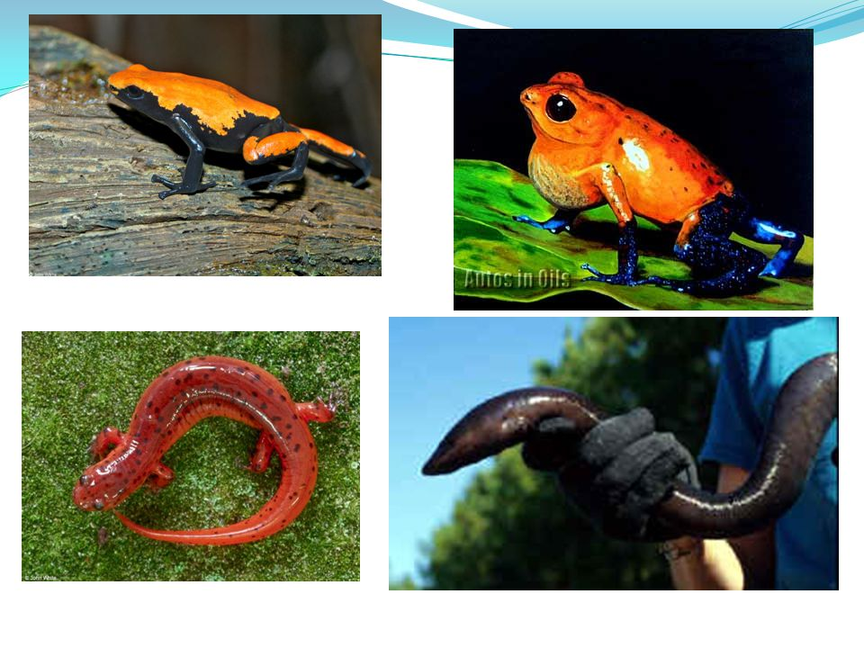 Amphibians – Classification into Orders There are three different orders for an amphibian Anura – 4200 species of frogs and toads Urodela – 430 species of newts and salamanders Gymniophiona – 165 known species of caecilians
