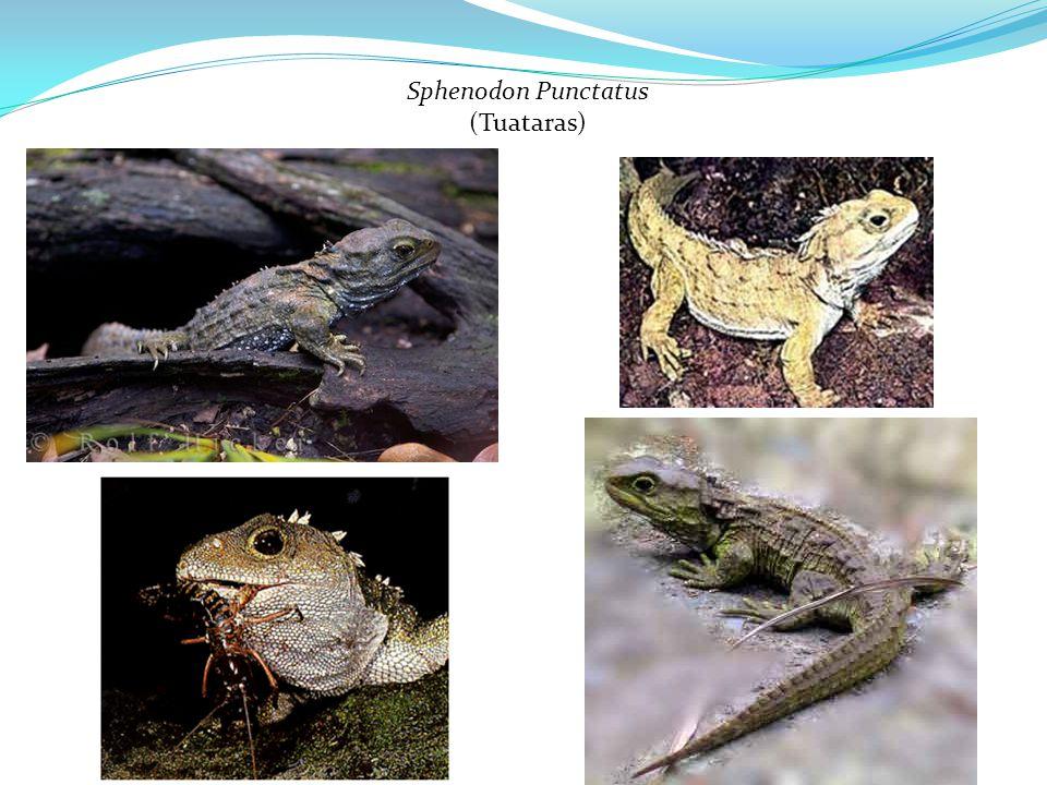 Sphenodon Punctatus (Tuataras)
