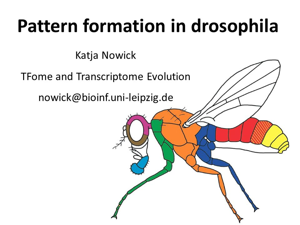 Pattern formation in drosophila Katja Nowick TFome and Transcriptome Evolution nowick@bioinf.uni-leipzig.de