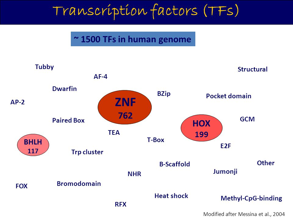 Transcription factors (TFs) Modified after Messina et al., 2004 ~ 1500 TFs in human genome RFX ZNF HOX BHLH Β-Scaffold BZip NHR Trp cluster FOX Bromod