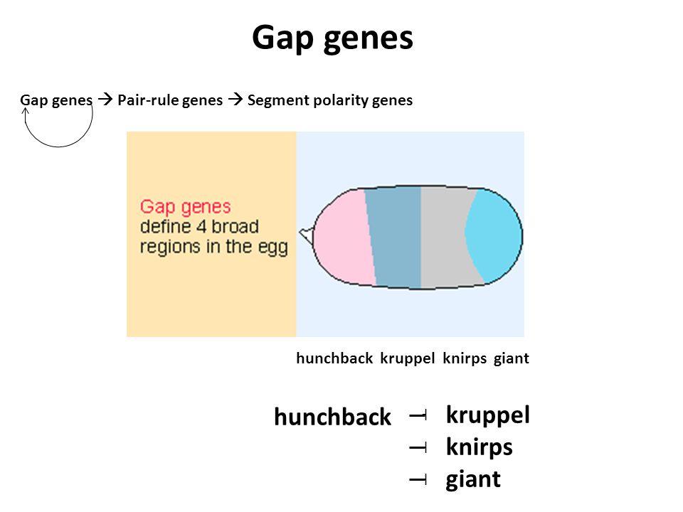 Gap genes  Pair-rule genes  Segment polarity genes hunchback kruppel knirps giant hunchback ˧ ˧ ˧ kruppel knirps giant Gap genes