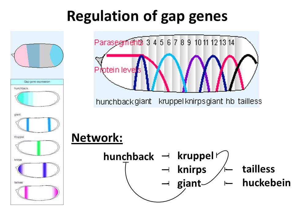 tailless huckebein Ⱶ Ⱶ Network: Regulation of gap genes hunchback ˧ ˧ ˧ kruppel knirps giant