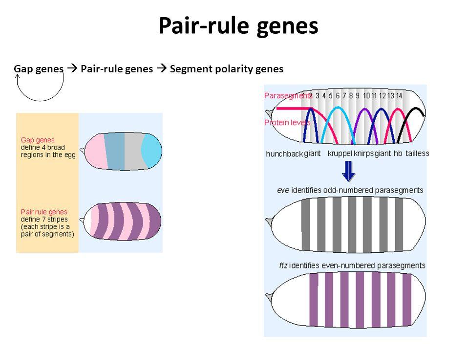 Pair-rule genes Gap genes  Pair-rule genes  Segment polarity genes
