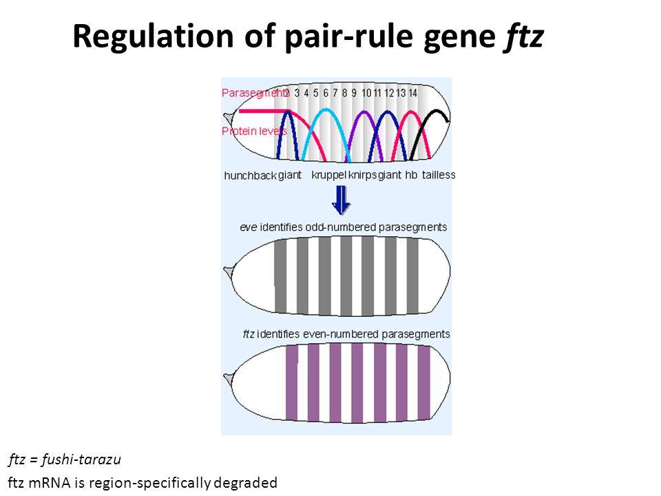 Regulation of pair-rule gene ftz ftz mRNA is region-specifically degraded ftz = fushi-tarazu