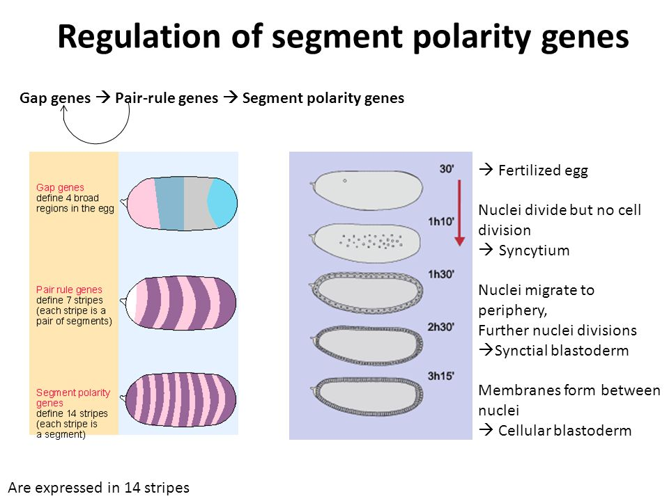  Fertilized egg Nuclei divide but no cell division  Syncytium Nuclei migrate to periphery, Further nuclei divisions  Synctial blastoderm Membranes form between nuclei  Cellular blastoderm Regulation of segment polarity genes Gap genes  Pair-rule genes  Segment polarity genes Are expressed in 14 stripes