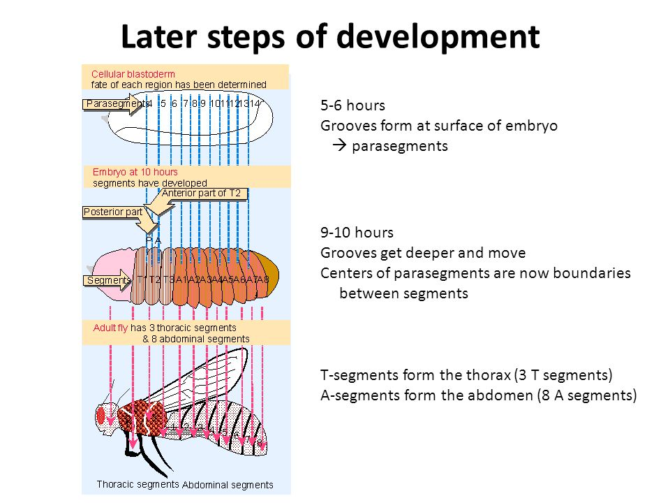 5-6 hours Grooves form at surface of embryo  parasegments 9-10 hours Grooves get deeper and move Centers of parasegments are now boundaries between segments T-segments form the thorax (3 T segments) A-segments form the abdomen (8 A segments) Later steps of development