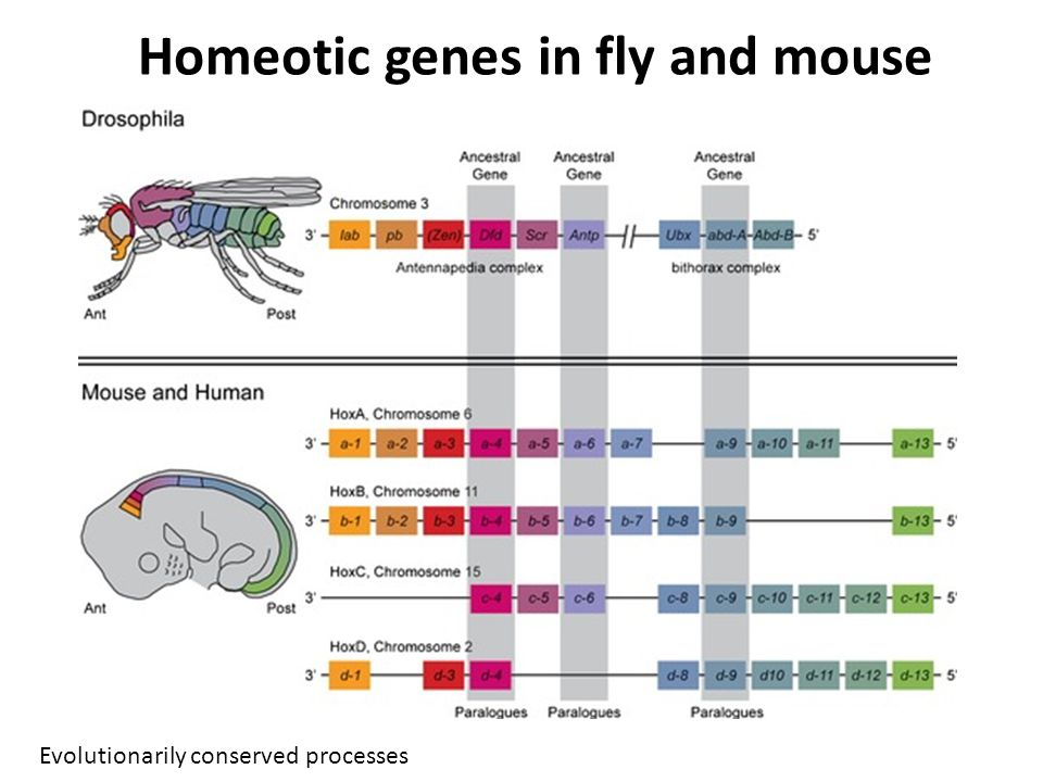 Homeotic genes in fly and mouse Evolutionarily conserved processes
