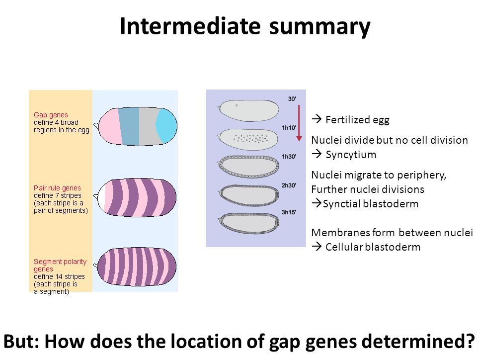  Fertilized egg Nuclei divide but no cell division  Syncytium Nuclei migrate to periphery, Further nuclei divisions  Synctial blastoderm Membranes form between nuclei  Cellular blastoderm Intermediate summary But: How does the location of gap genes determined