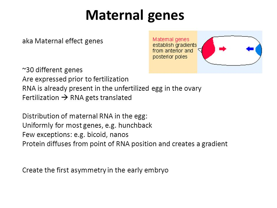 aka Maternal effect genes ~30 different genes Are expressed prior to fertilization RNA is already present in the unfertilized egg in the ovary Fertilization  RNA gets translated Distribution of maternal RNA in the egg: Uniformly for most genes, e.g.