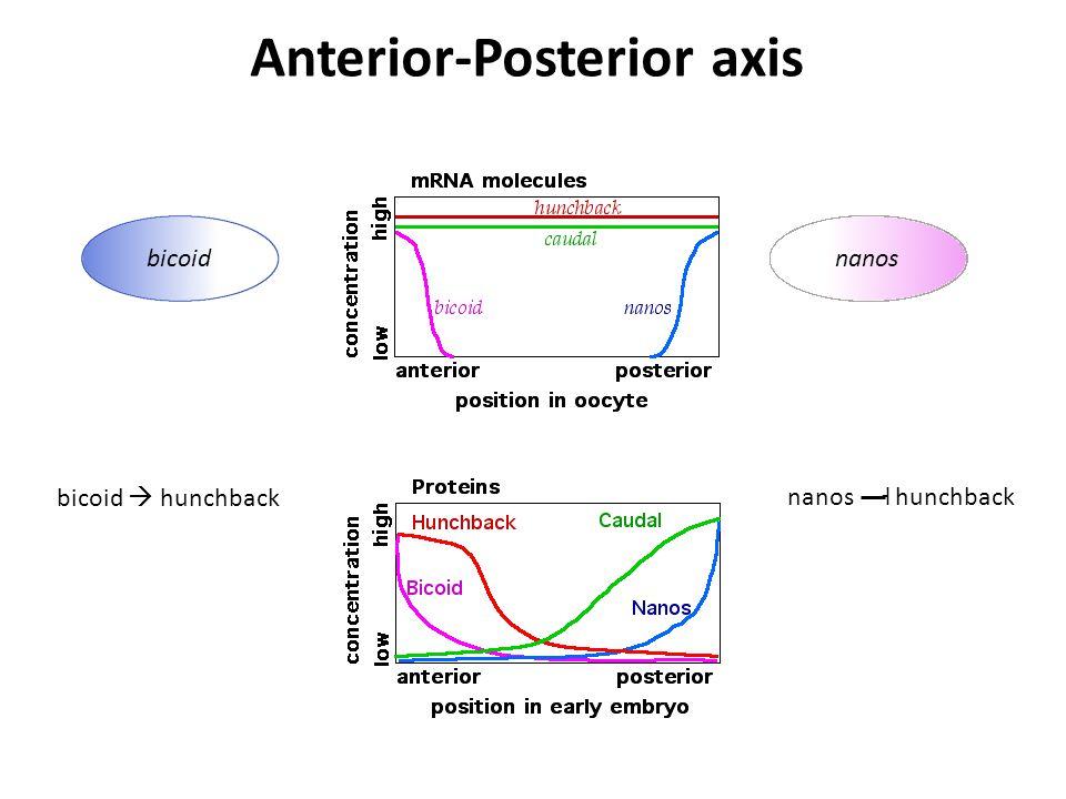 bicoidnanos Anterior-Posterior axis bicoid  hunchbacknanos hunchback˧