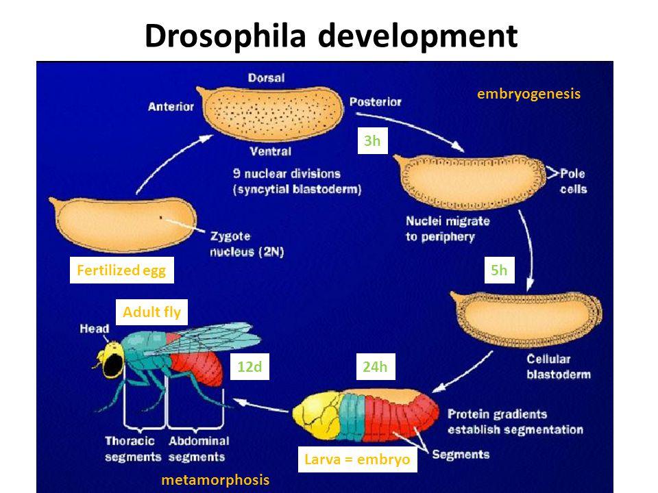 embryogenesis Larva = embryo metamorphosis Adult fly Drosophila development Fertilized egg 3h 5h 24h12d