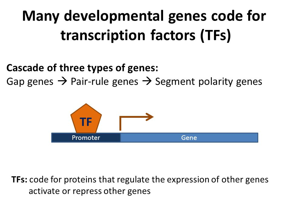 TFs: code for proteins that regulate the expression of other genes activate or repress other genes Cascade of three types of genes: Gap genes  Pair-rule genes  Segment polarity genes Many developmental genes code for transcription factors (TFs) GenePromoter TF