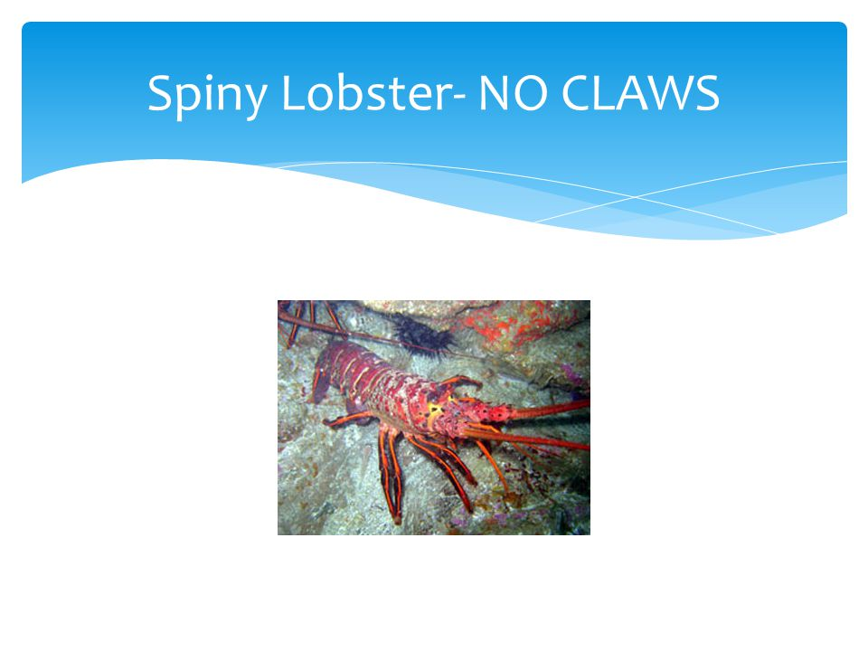 Spiny Lobster- NO CLAWS