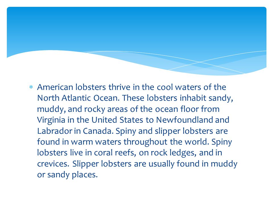  American lobsters thrive in the cool waters of the North Atlantic Ocean. These lobsters inhabit sandy, muddy, and rocky areas of the ocean floor fro