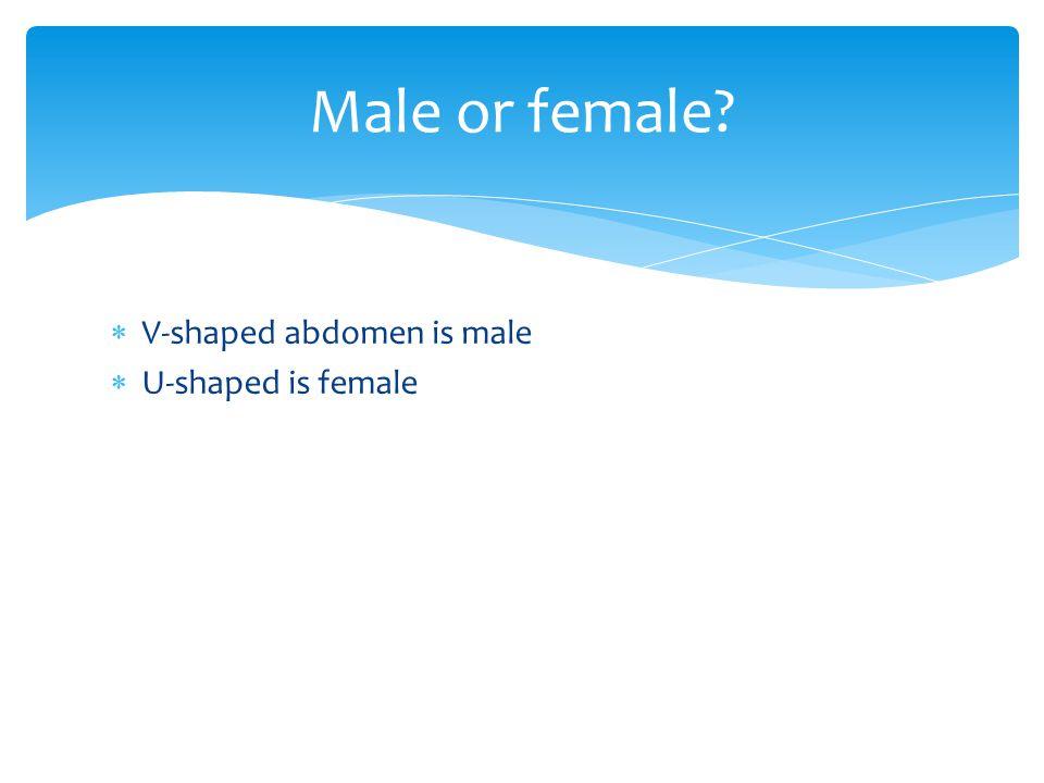  V-shaped abdomen is male  U-shaped is female Male or female?