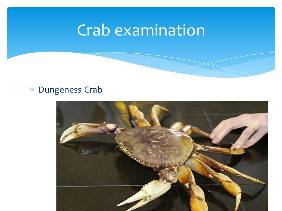  Dungeness Crab Crab examination