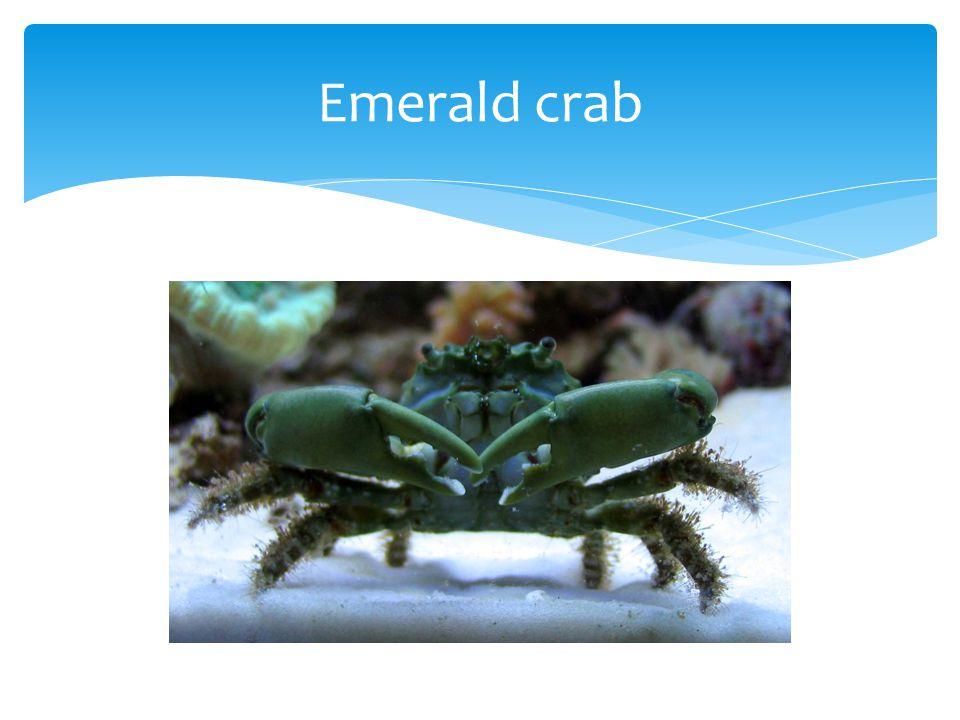 Emerald crab