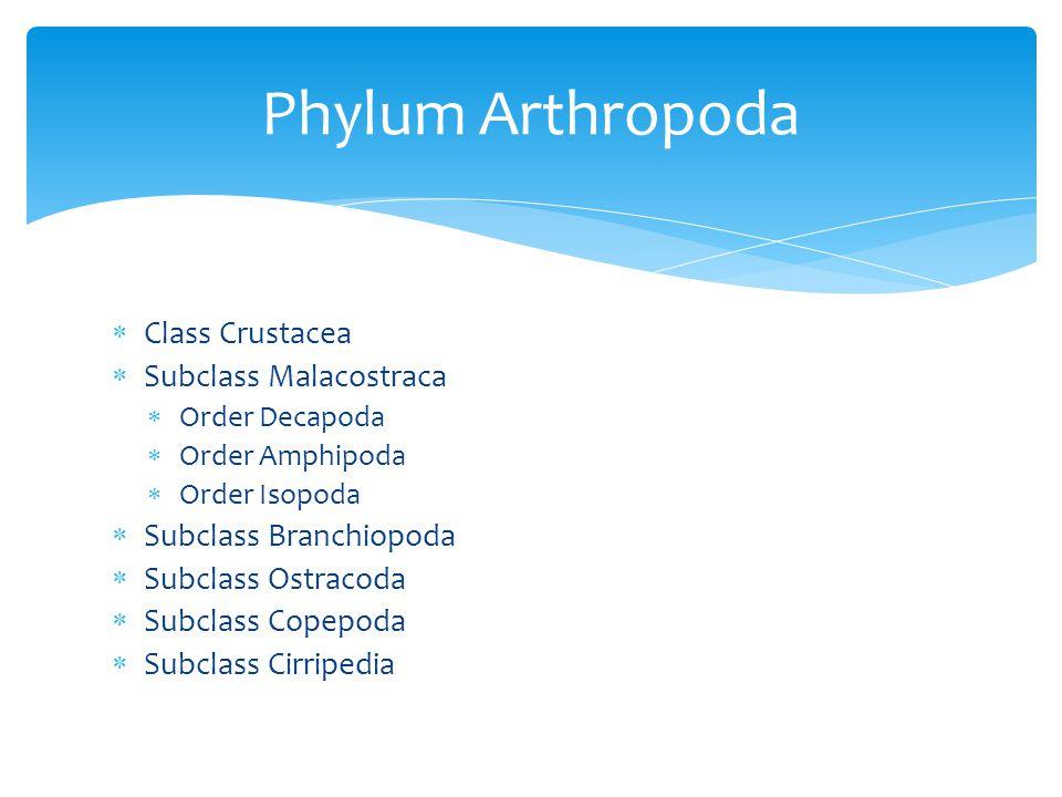  Class Crustacea  Subclass Malacostraca  Order Decapoda  Order Amphipoda  Order Isopoda  Subclass Branchiopoda  Subclass Ostracoda  Subclass C