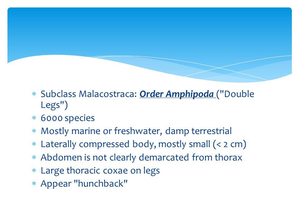 Subclass Malacostraca: Order Amphipoda (