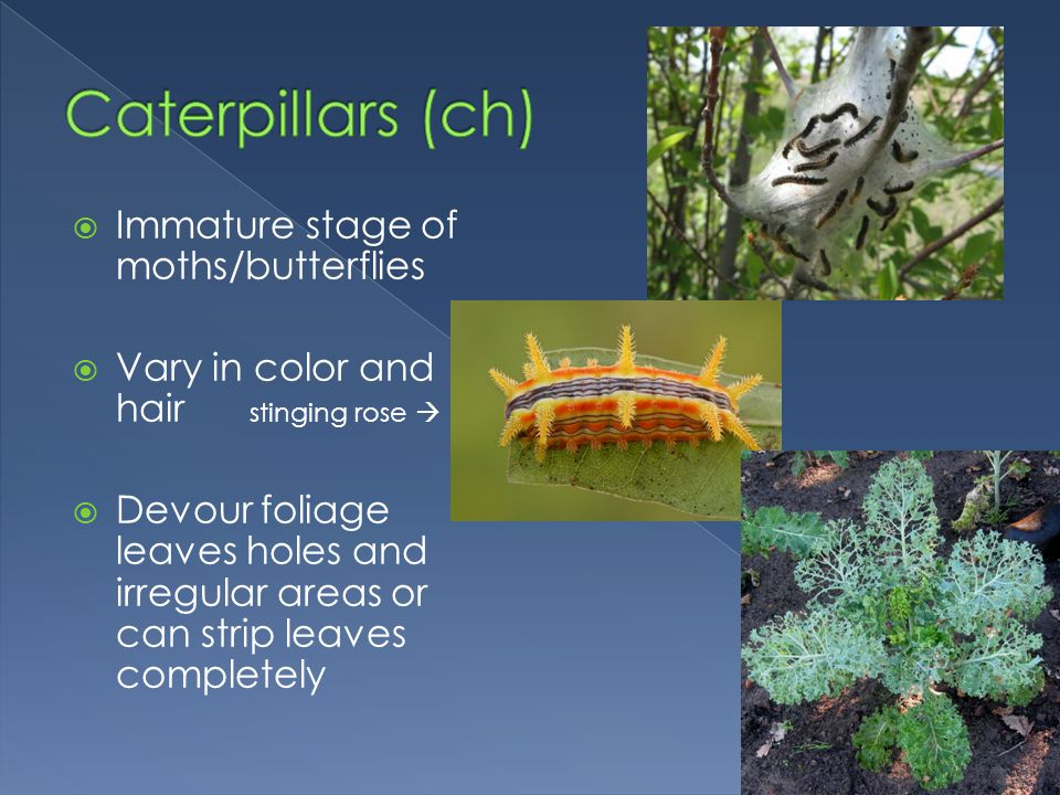  Immature stage of moths/butterflies  Vary in color and hair stinging rose   Devour foliage leaves holes and irregular areas or can strip leaves c