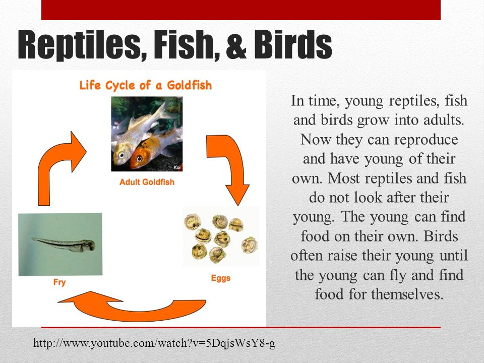 In time, young reptiles, fish and birds grow into adults.