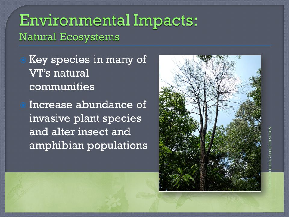  Key species in many of VT's natural communities  Increase abundance of invasive plant species and alter insect and amphibian populations © Mark Whi