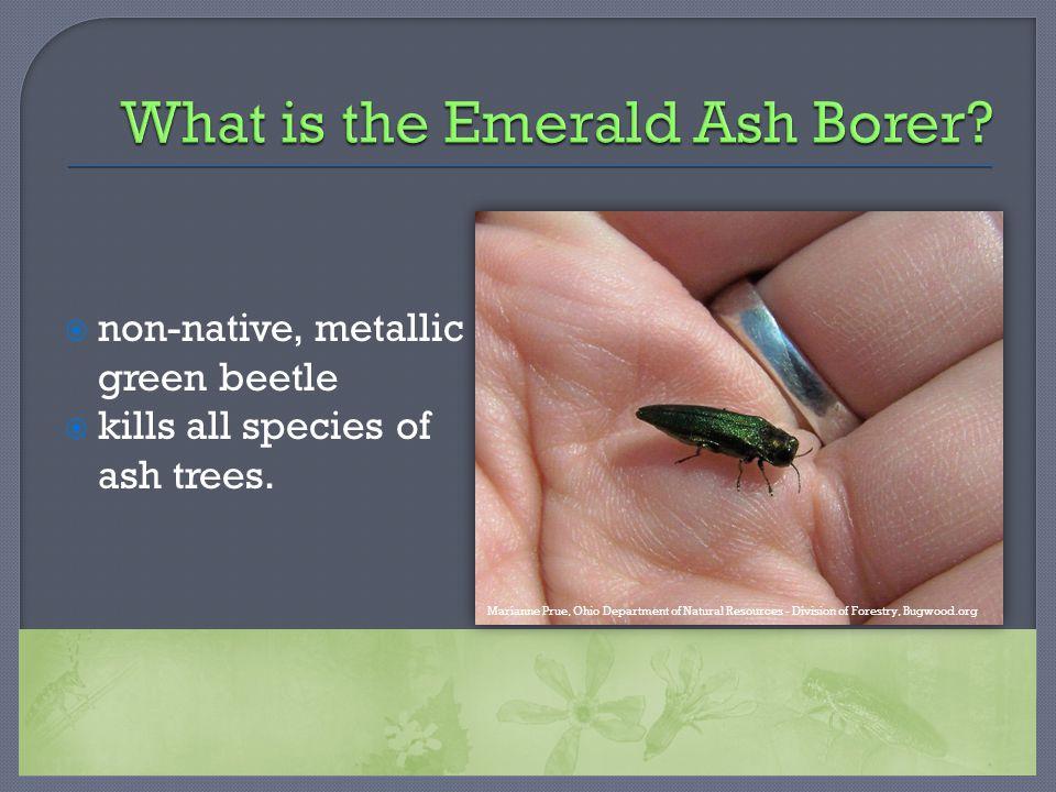  non-native, metallic green beetle  kills all species of ash trees.