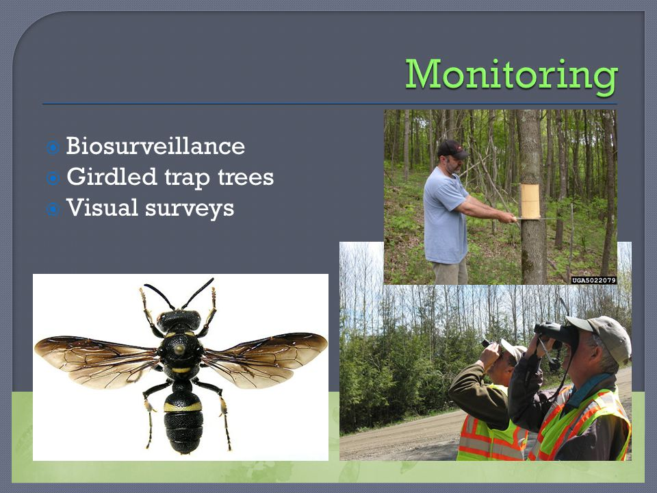  Biosurveillance  Girdled trap trees  Visual surveys