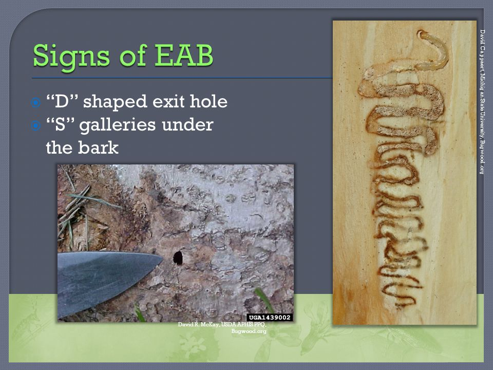 " ""D"" shaped exit hole  ""S"" galleries under the bark David Cappaert, Michigan State University, Bugwood.org David R. McKay, USDA APHIS PPQ, Bugwood.o"