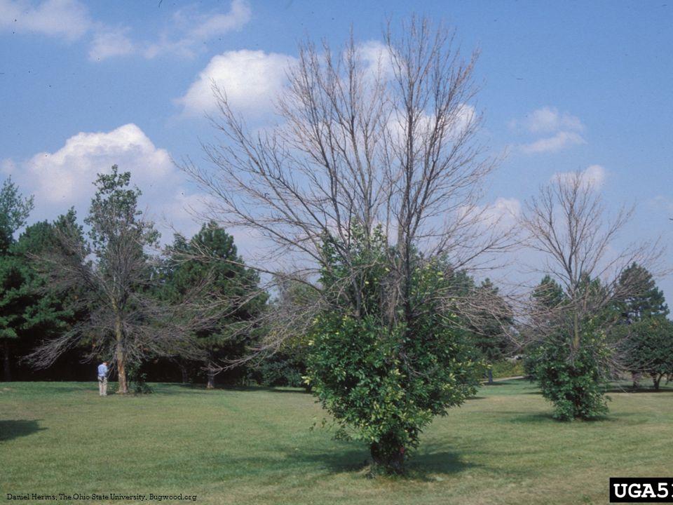  Biosurveillance  Girdled trap trees  Visual surveys
