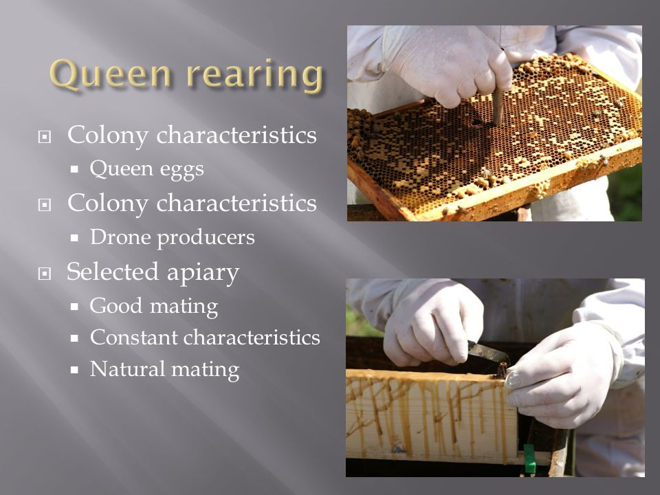  Colony characteristics  Queen eggs  Colony characteristics  Drone producers  Selected apiary  Good mating  Constant characteristics  Natural mating