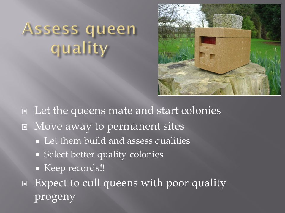  Let the queens mate and start colonies  Move away to permanent sites  Let them build and assess qualities  Select better quality colonies  Keep records!.