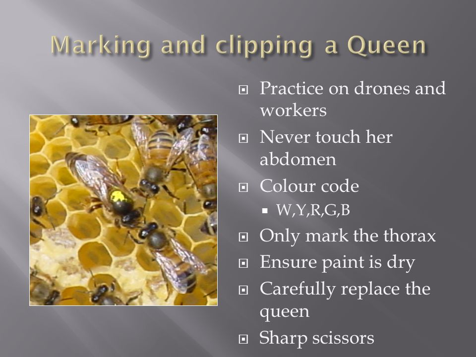  Practice on drones and workers  Never touch her abdomen  Colour code  W,Y,R,G,B  Only mark the thorax  Ensure paint is dry  Carefully replace the queen  Sharp scissors