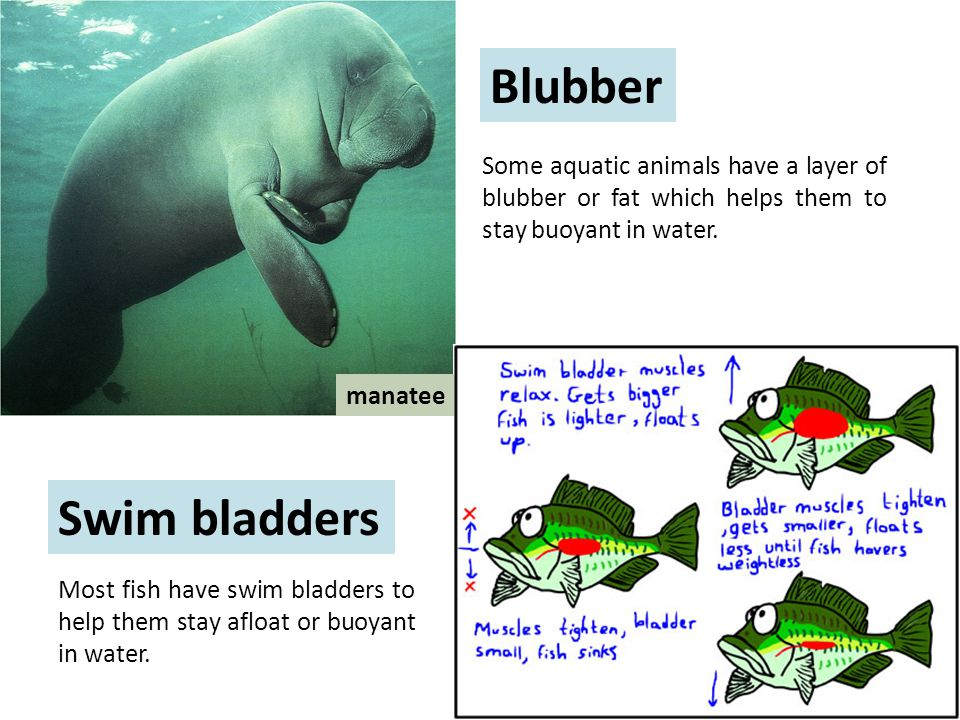 Some aquatic animals have a layer of blubber or fat which helps them to stay buoyant in water.