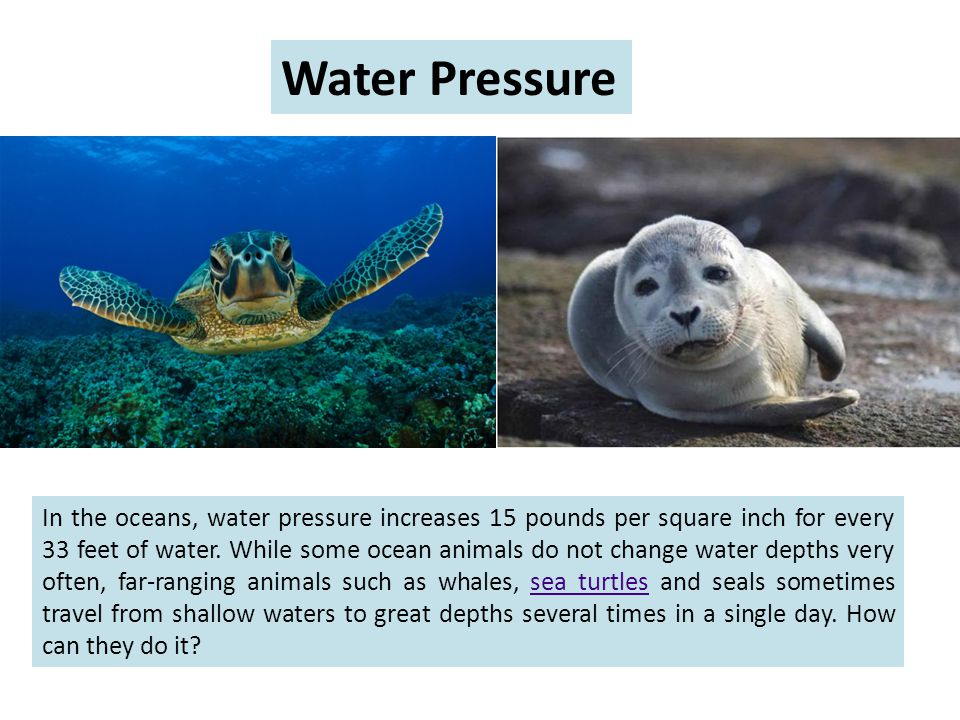 In the oceans, water pressure increases 15 pounds per square inch for every 33 feet of water.