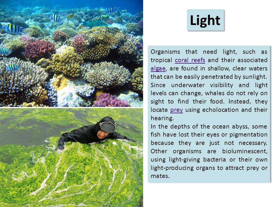 Organisms that need light, such as tropical coral reefs and their associated algae, are found in shallow, clear waters that can be easily penetrated by sunlight.coral reefs algae Since underwater visibility and light levels can change, whales do not rely on sight to find their food.