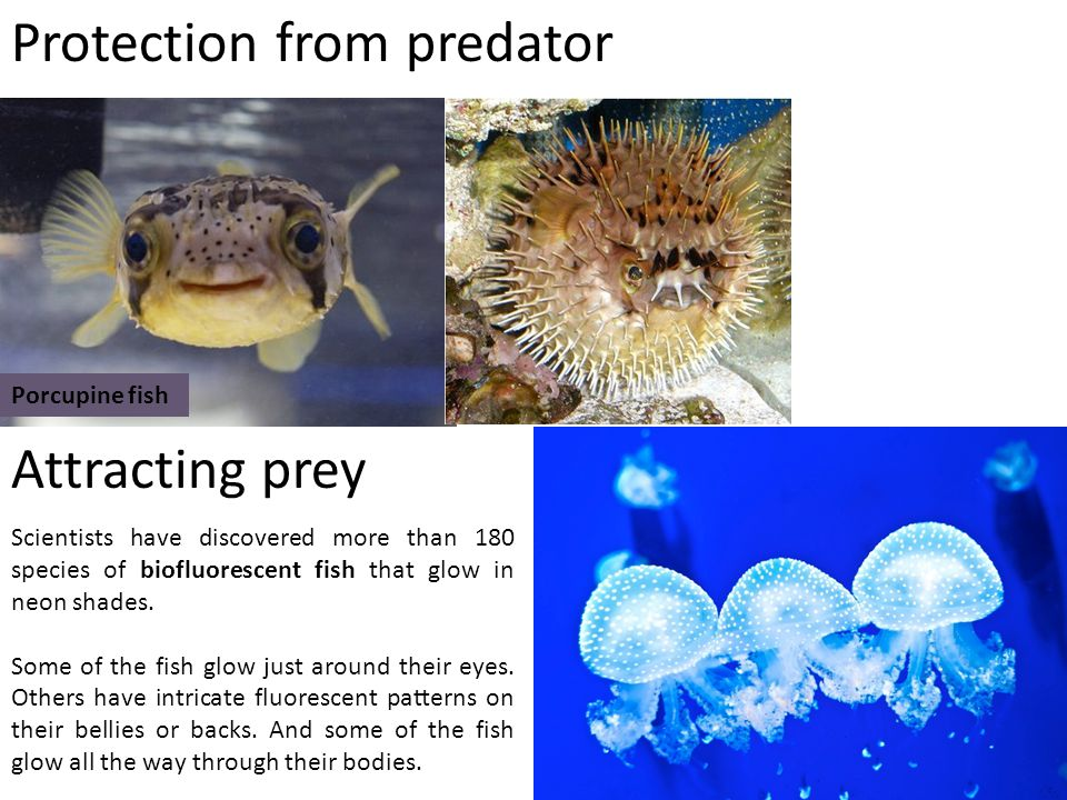Porcupine fish Protection from predator Scientists have discovered more than 180 species of biofluorescent fish that glow in neon shades.