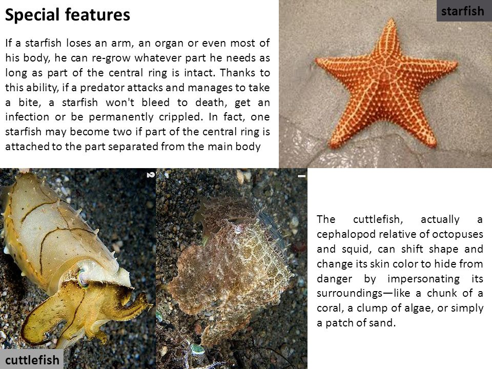 If a starfish loses an arm, an organ or even most of his body, he can re-grow whatever part he needs as long as part of the central ring is intact.